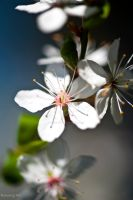flower30 by PictureByPali