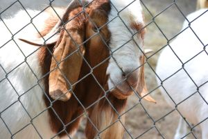Waccatee Zoo Goat 4 by MrsChibi