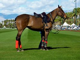 Polo Horse Stock by ThePerfectEquestrian