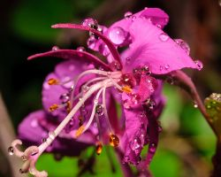 Summer FireWeed by JWFisher