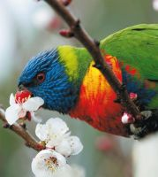 Lorikeet Eating Nectar by MynxBitch