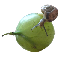 Snail and gooseberry png by Adagem