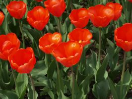 red tulips by DemonsChain-Stock