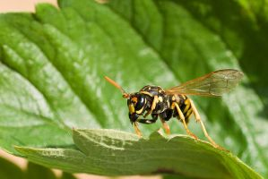 European Paper Wasp by duncan-blues