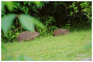 Two Young Groundhogs by TheMan268