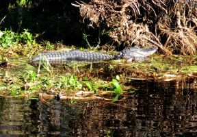 Alligator by Phillysoul11