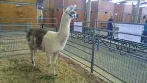 Llamas ARE larger than frogs by BrendanR85