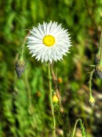 White paper daisy by BrendanR85