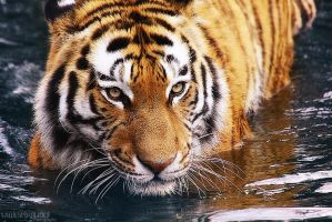 .:Water Tiger:. by WhiteSpiritWolf