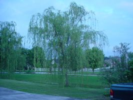 Willow Tree by aragornsparrow