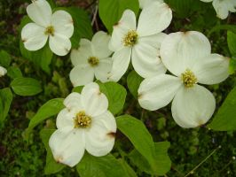 Dogwoods by TheSortedBead