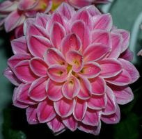 Dahlia Stock6 by anbdstock