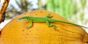 Green Anole by peterpateman