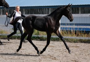 Black Warmblood Filly 003 by NotoriousFlair