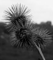 thistle by kayakmad