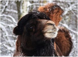 Bactrian camel portarit by Triumfa