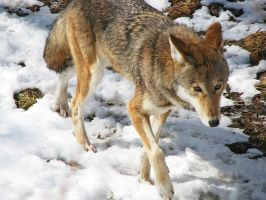 Red Wolf Stock 13 by HOTNStock
