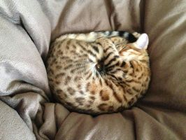 Spotted dreams of a bengal kitten by kotenokgaff
