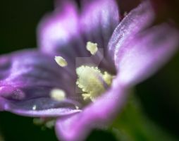 Swamp Flower at Bear Lake Magnified 2x by aydonis