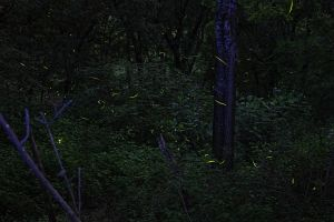 Fireflies  05-15-15 by badchess