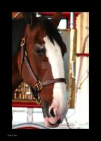 Clydesdale Horse by KarinaPhair
