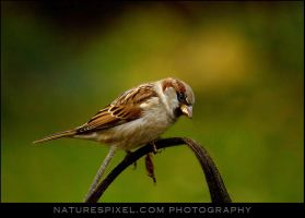 """House Sparrow """"male"""" by Sonny2005"""