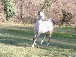 Grey arab cantering front by folipoo