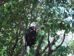 Bald Eagle by oolp