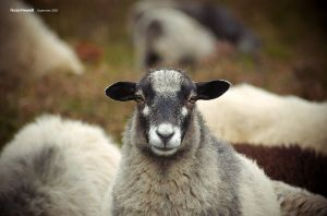 portrait of a sheep by hermik
