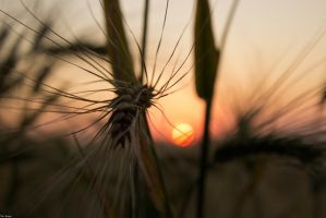 Sunset Wheat II by ChewyFloyd