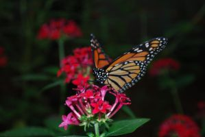 Monarch Butterfly Stock 14 by chamberstock