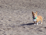 corgi on the beach by RLWolf