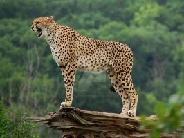 Cheetah by ChristopherFoxPhoto