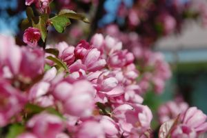 Crab Apple In Bloom by ByronGiant