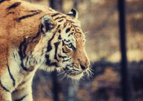 51/52 The Amur Tiger by VelvetRedBullet