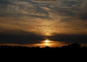 Flight of Starlings.. by quaddie