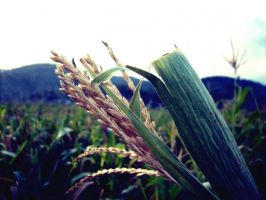 Rice Grows by emceenick