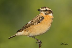 Whinchat by Jamie-MacArthur
