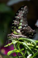 Butterfly0013 by kismuntr