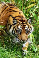 Sumatran Tiger by BloodLustInsanity