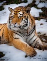 Siberian tiger by PyroDenny16