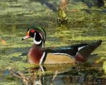 Sunny morning Wood duck by natureguy