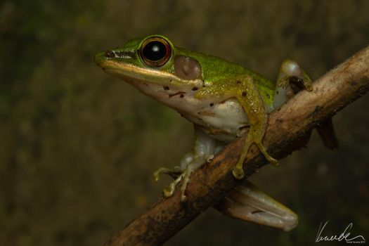 Tree-frog #01 by vetchyKocour