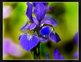 wild iris by bracketting94
