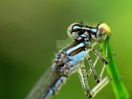 Damselfly 2 by zaphotonista