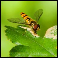 Hover fly by irgendeine