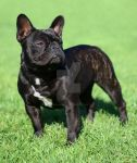 French Bulldog 3 by RebeccaNewton