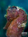Seahorse by Nudibranch182