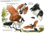 Custom Aequis: Burchell's Coucal by pallanoph