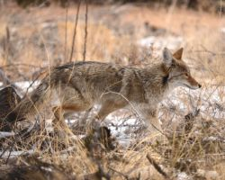 Bandelier Coyote by Canislupuscorax